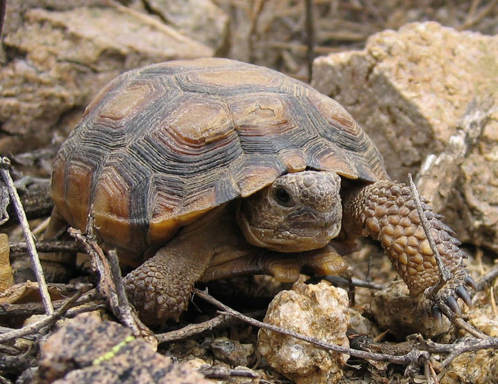 Desert Tortoise - Desert tortoises can survive one year without water. They absorb water  from the vegetation they eat and dig shallow pools in the ground to  collect rainwater.