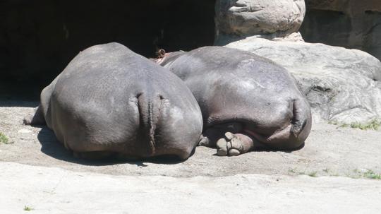 2-hippo-hiney