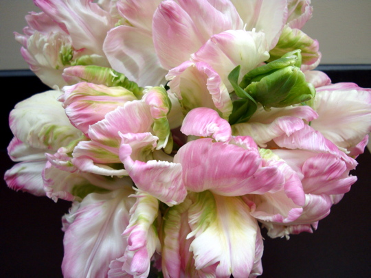 pink-parrot-tulips