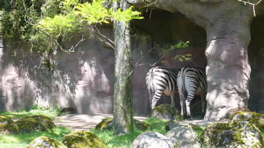 zebra-butt