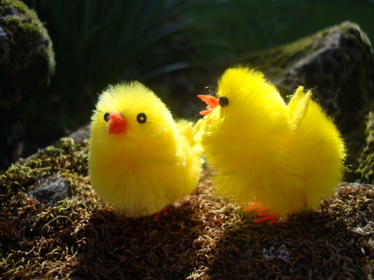 chicks-in-the-sun