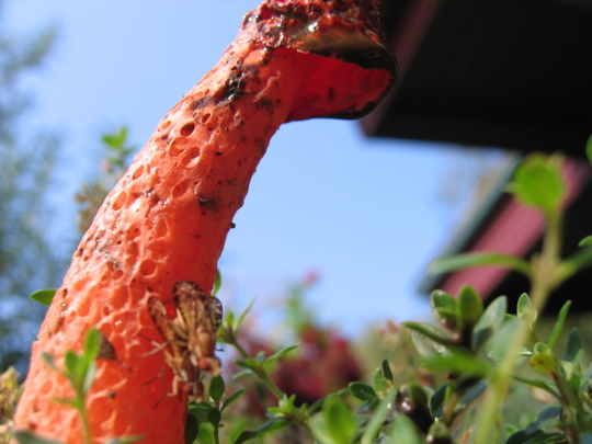 flys-on-a-stinkhorn