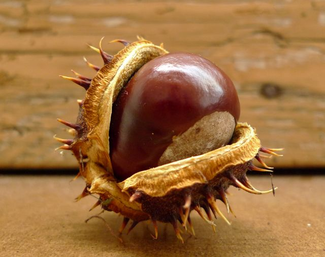the-hungry-chestnut