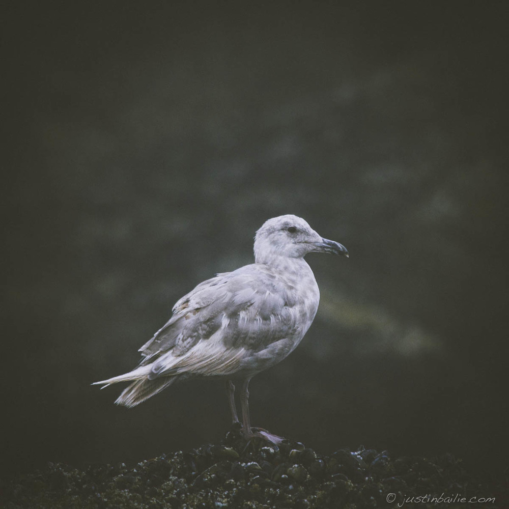 Punk seagull. Cannon Beach, OR.