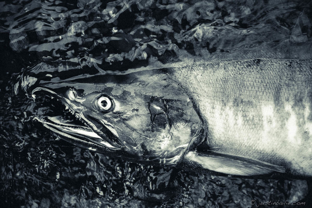 chum - more from this shoot for Western Rivers Conservancy - Kennedy Creek, WA
