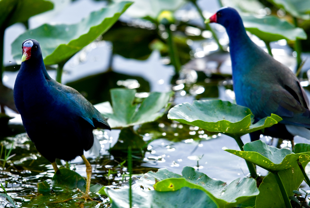 Purple Gallinule, 2013