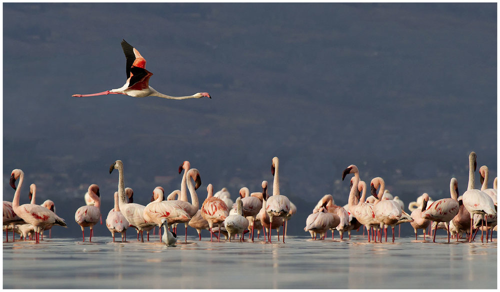 The flamingoes have left Lake Nakuru since the floods but in 2011 there were plenty
