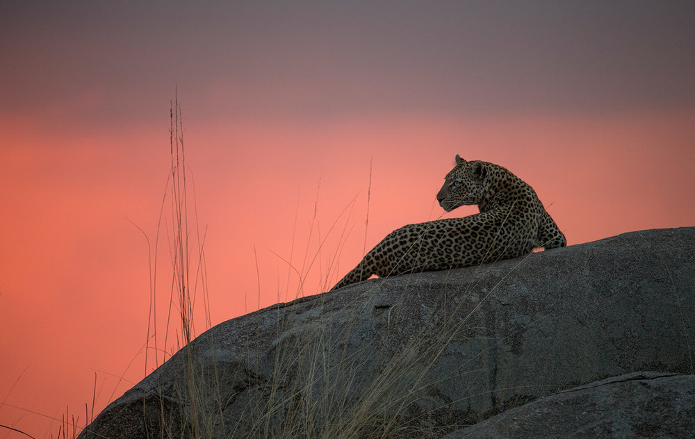Leopard preparing to hunt - Northern Serengeti
