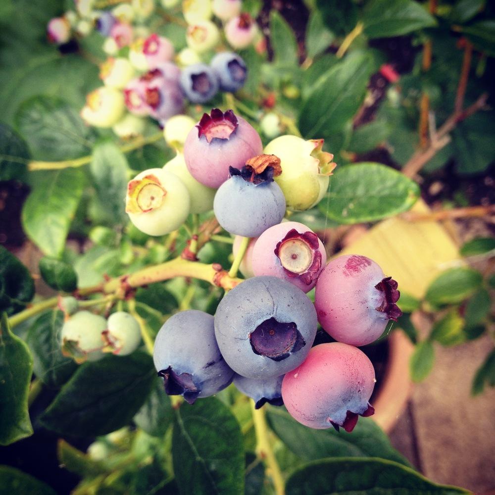homegrown blueberries look beautiful!