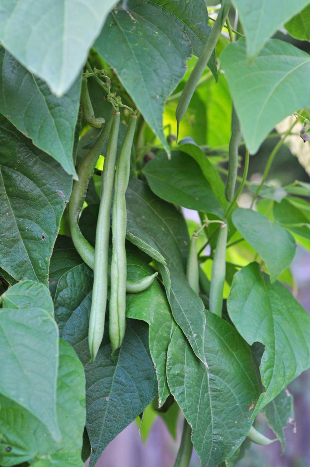 beans 1a.jpg