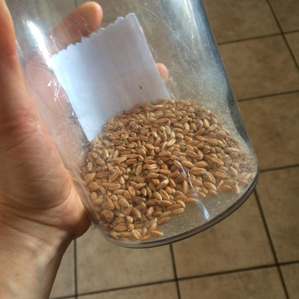 Emmer grains- pre milling