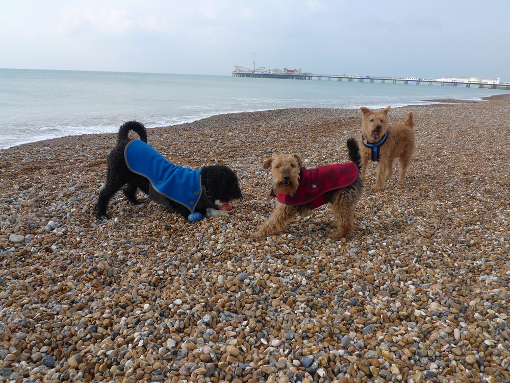 The boys sporting their Harris Tweed dog coats on Brighton beach