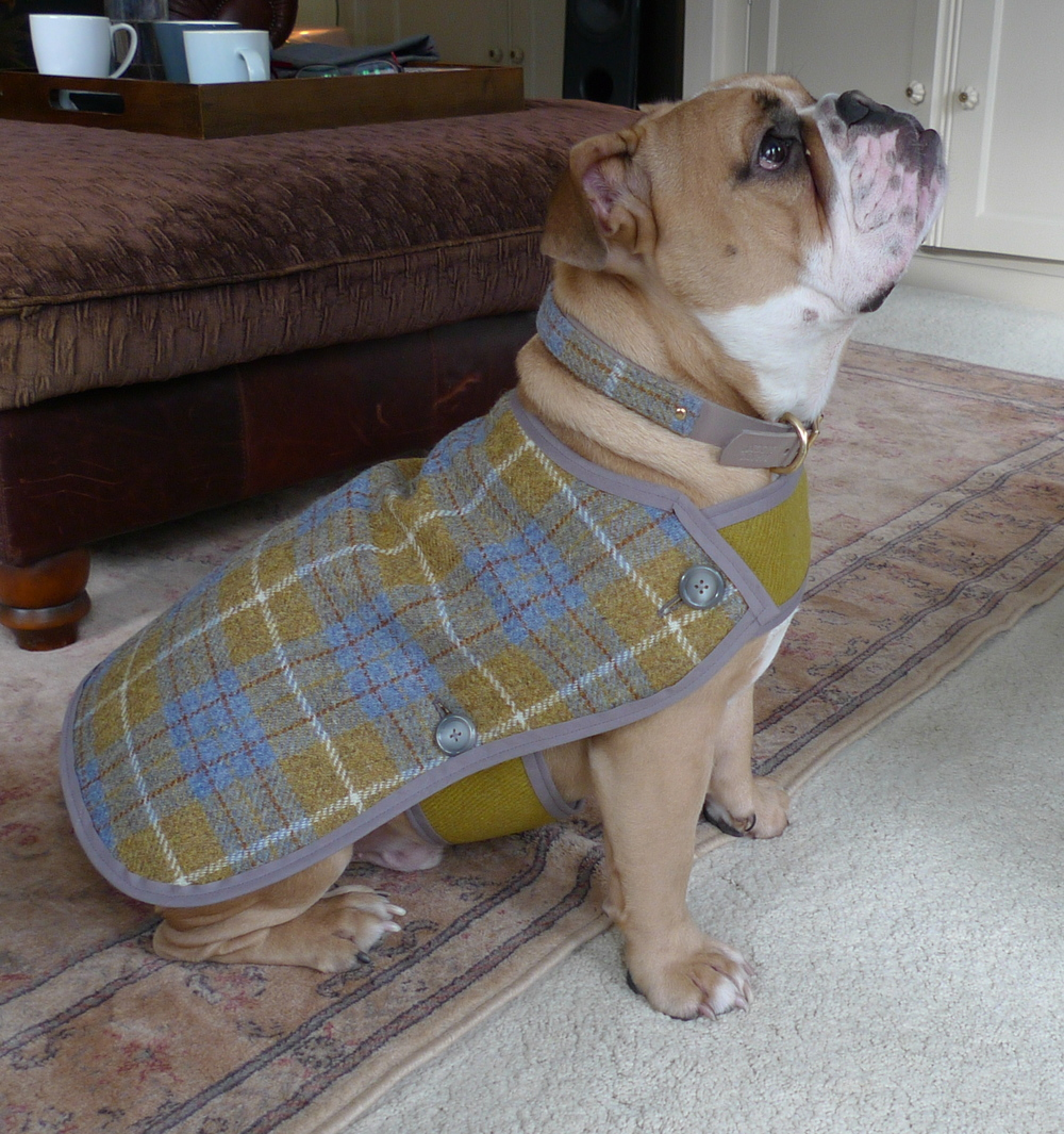 Bentley the British Bulldog in his blue and mustard Harris tweed coat and collar