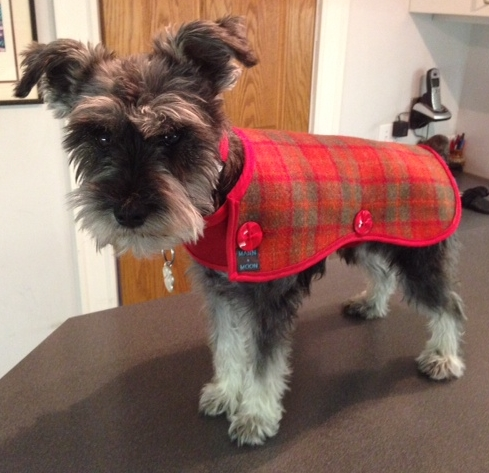 Clint the miniature Schnauzer from Chicago in his Orange and grey/green Harris tweed coat