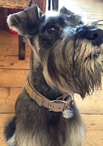 Rufus the miniature Schnauzer in his blue and mustard Harris Tweed country collection collar