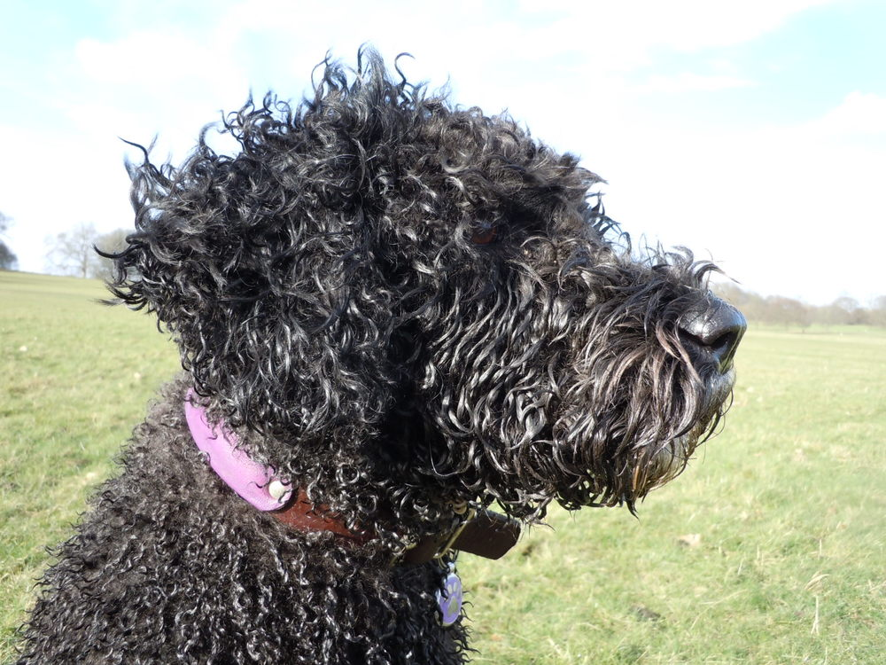 Lola looking windswept in her purple and brown leather collar with nickel plated metalwork
