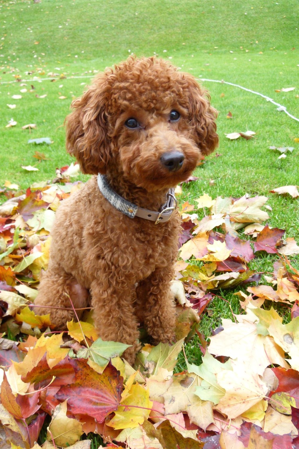 Nico the toy poodle puppy in his limited edition Harris tweed and leather collar in Canada