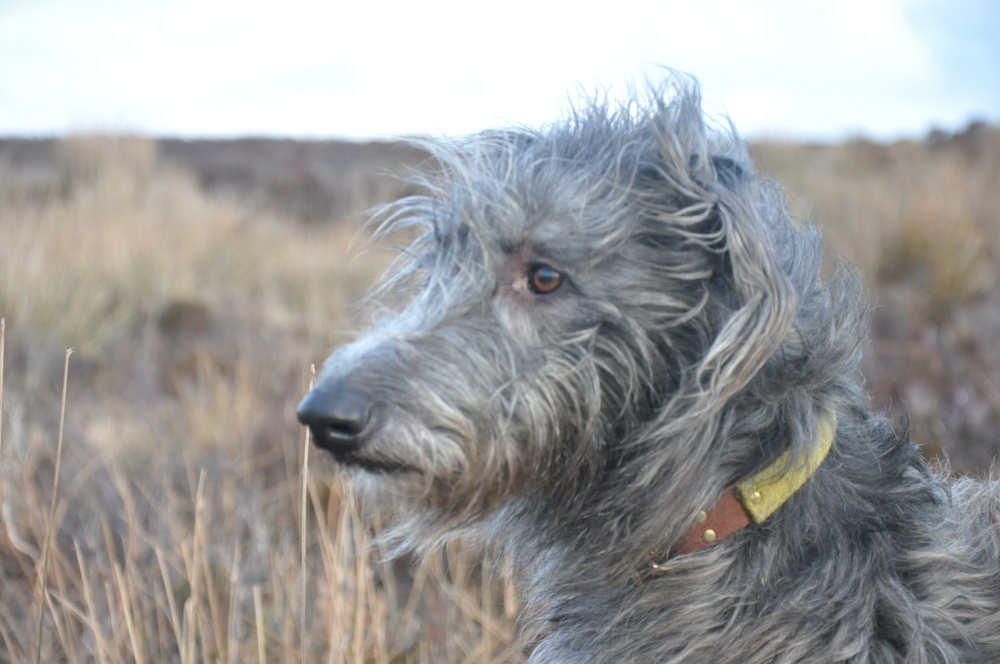 Hector the Deerhound modelling his acid green Harris tweed country collection collar