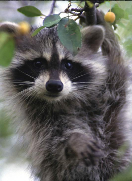 raccoon-face-close-up-procyon-lotor_w532_h725.jpg