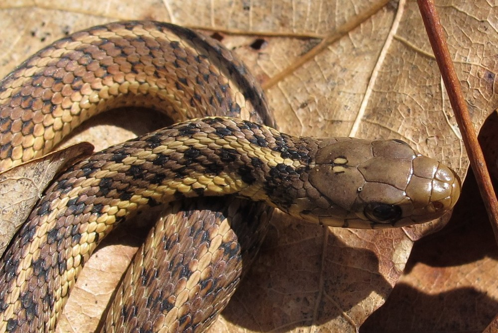 Common Garter Snake Photo by Link Davis
