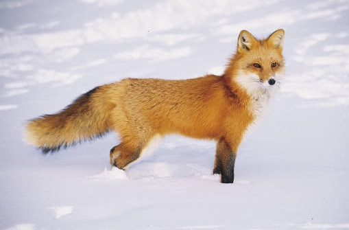 fox in snow.jpg