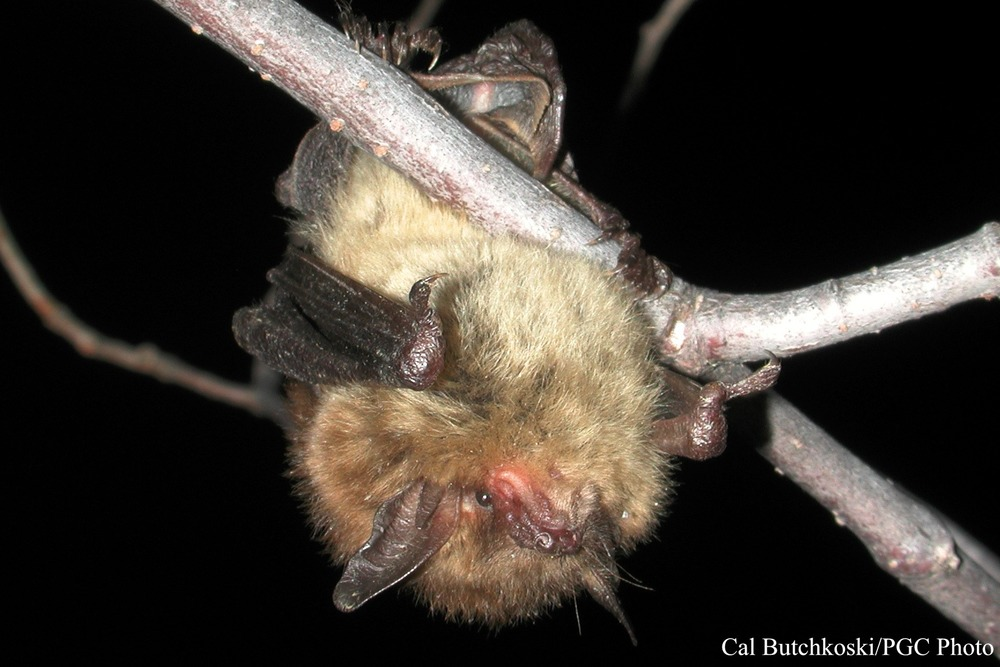 ci_little_brown_bat_3.jpg