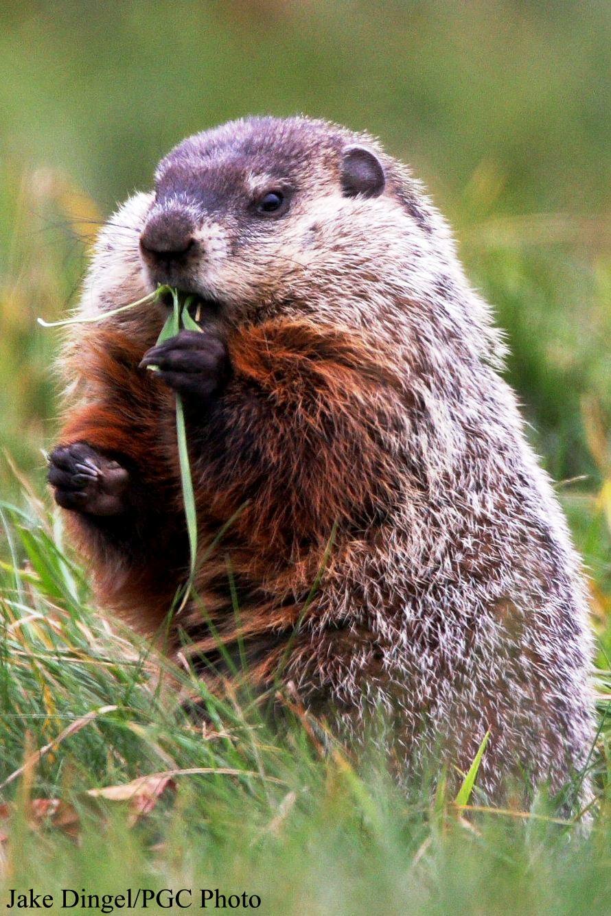 ci_groundhog_3.jpg