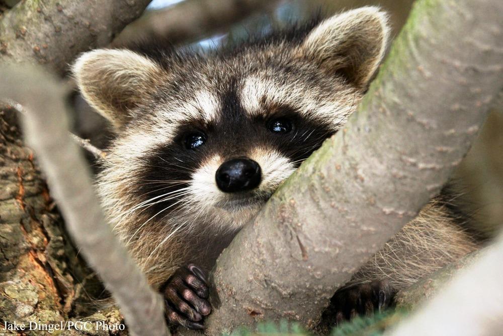 ci_raccoon_3.jpg