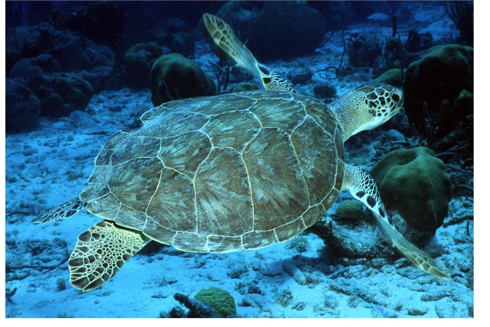 Green Turtle Photo credit: Andy Bruckner, NOAA