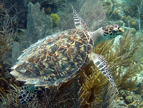 Hawksbill Turtle Photo credit: Caroline Rogers, USGS