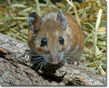 white_footed_mouse_JW.jpg