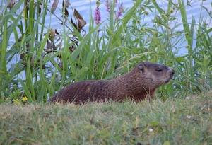 Oh Groundhog!