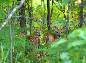 Fawns...Babes in the Woods