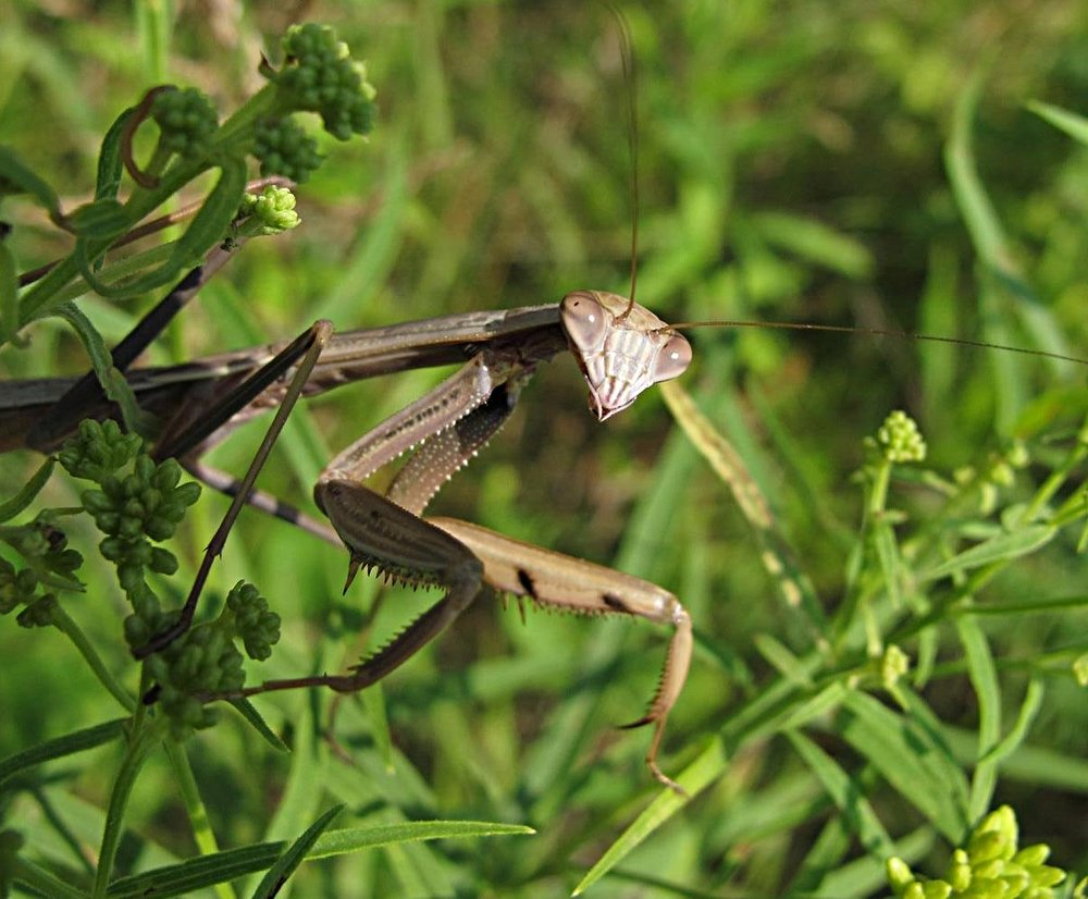 MAN   MANTIDAE   Tenodera sinensis   Chinese Mantid   Cedar Rd   2011-07-11   025.jpg