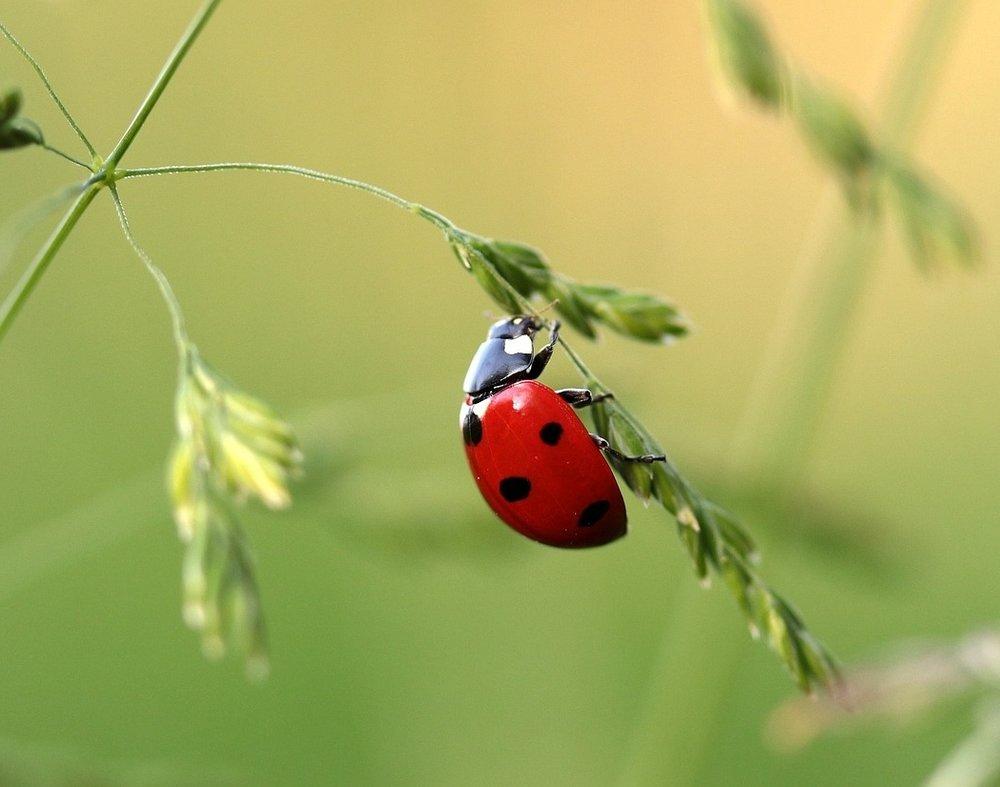 ladybug-1480102_1280 (1).jpg