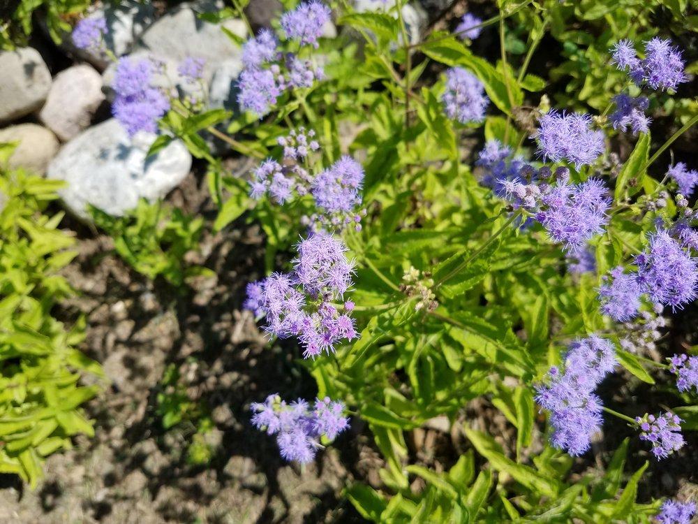 Eupatorium coelestinum , Blue Mistflower