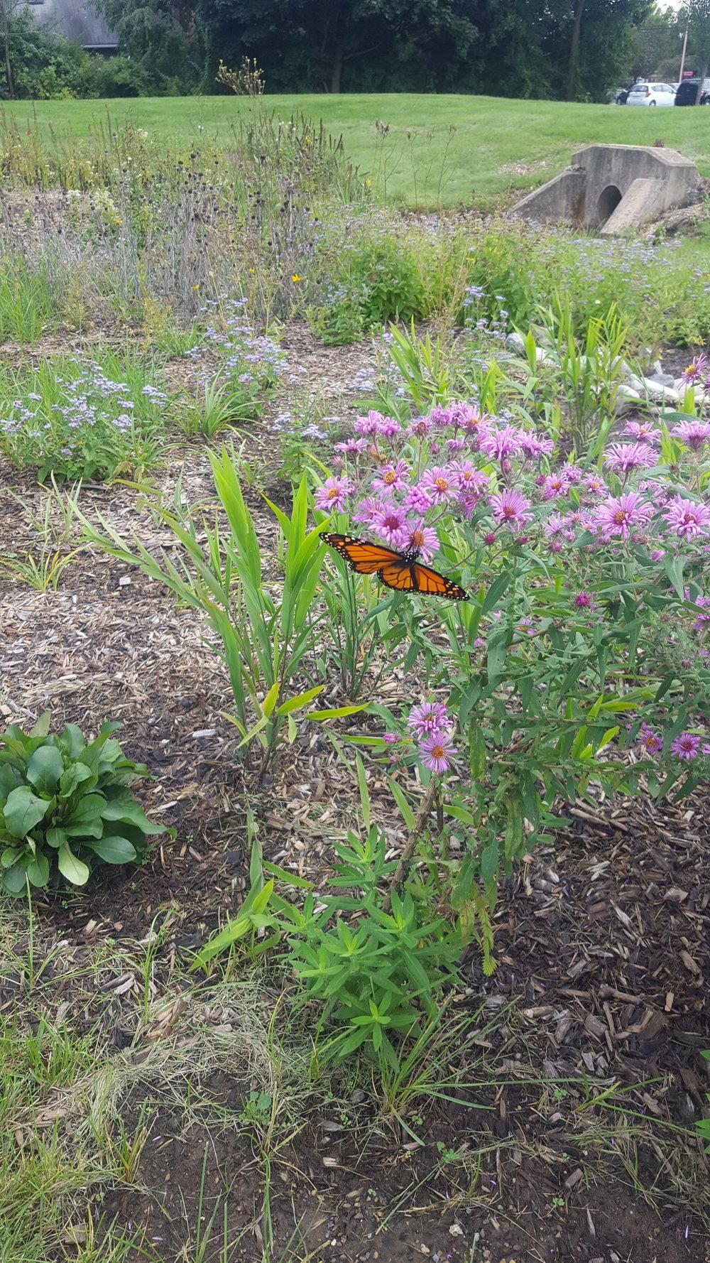 A monarch butterfly enjoying our rain garden at Bucher Park.