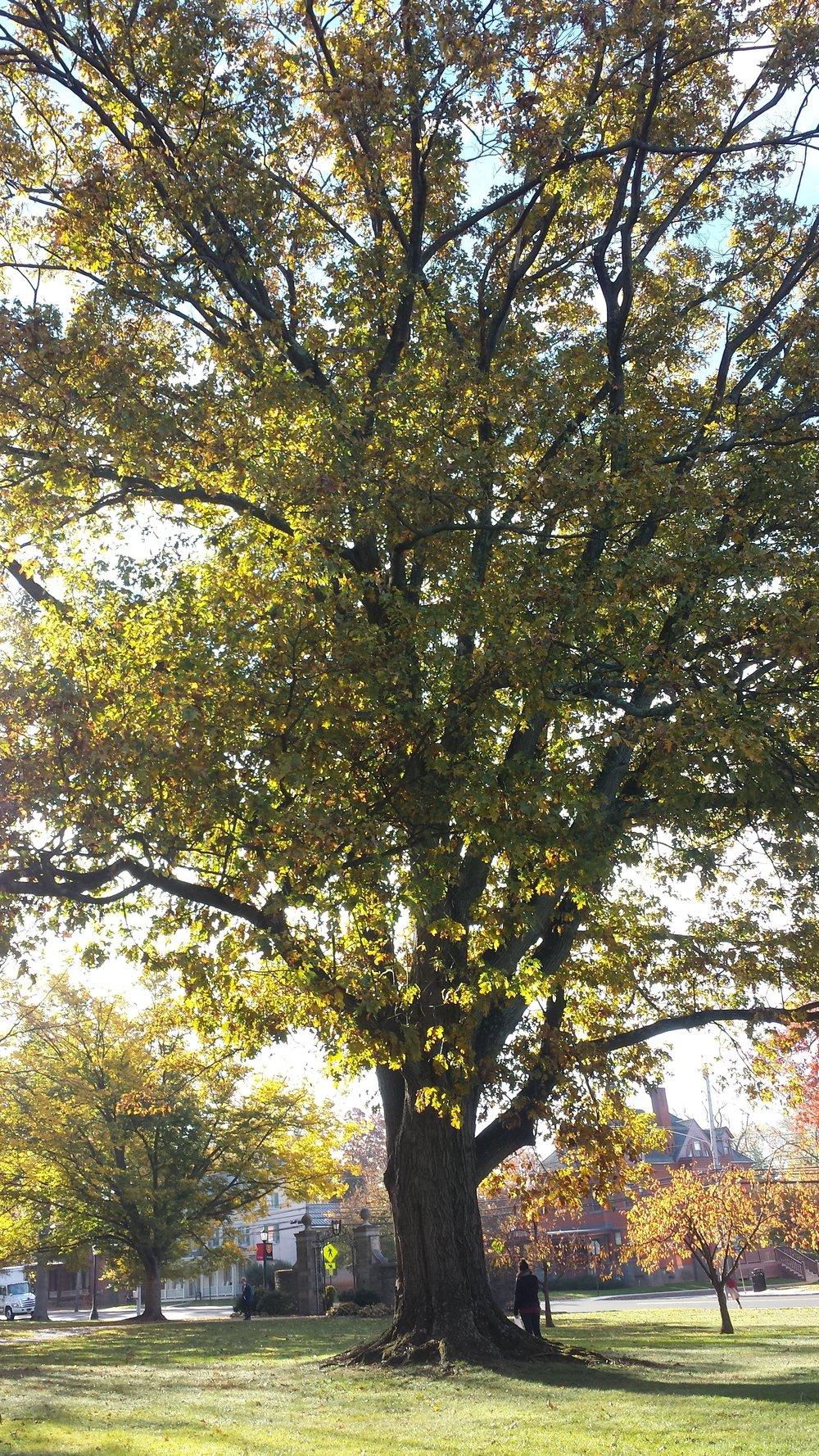Quercus rubra , Red Oak