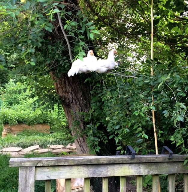 hens_trees.jpg