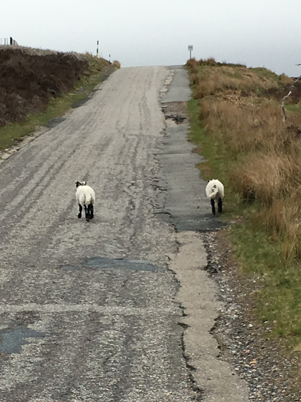 Some sheep with whom we shared the road