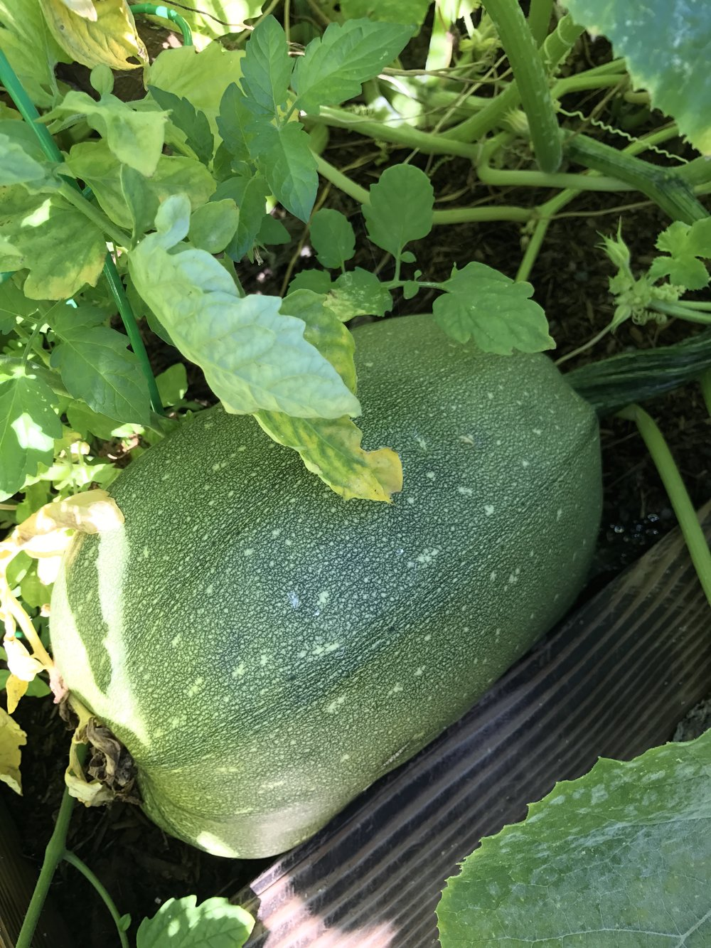 So this should be Butternut Squash... but clearly it is not.... We think it's a new mix, half Butternut Squash and half Zucchini. Our Zucchini was planted in the next box over.