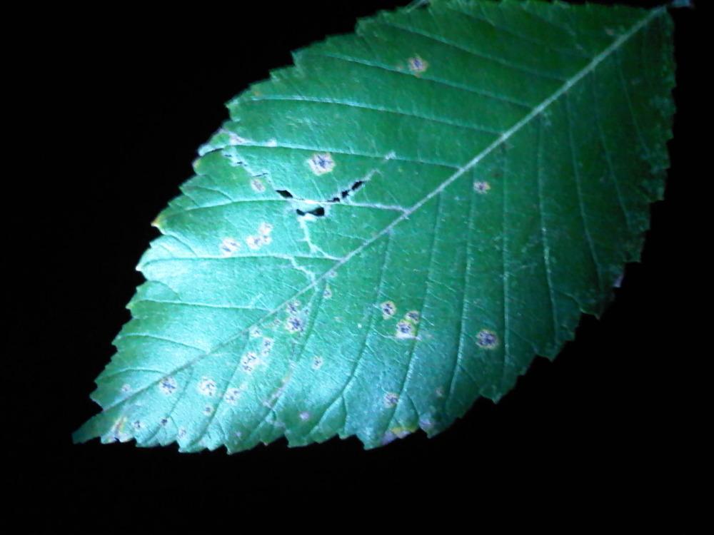 Leaf-lit-by-flashlight