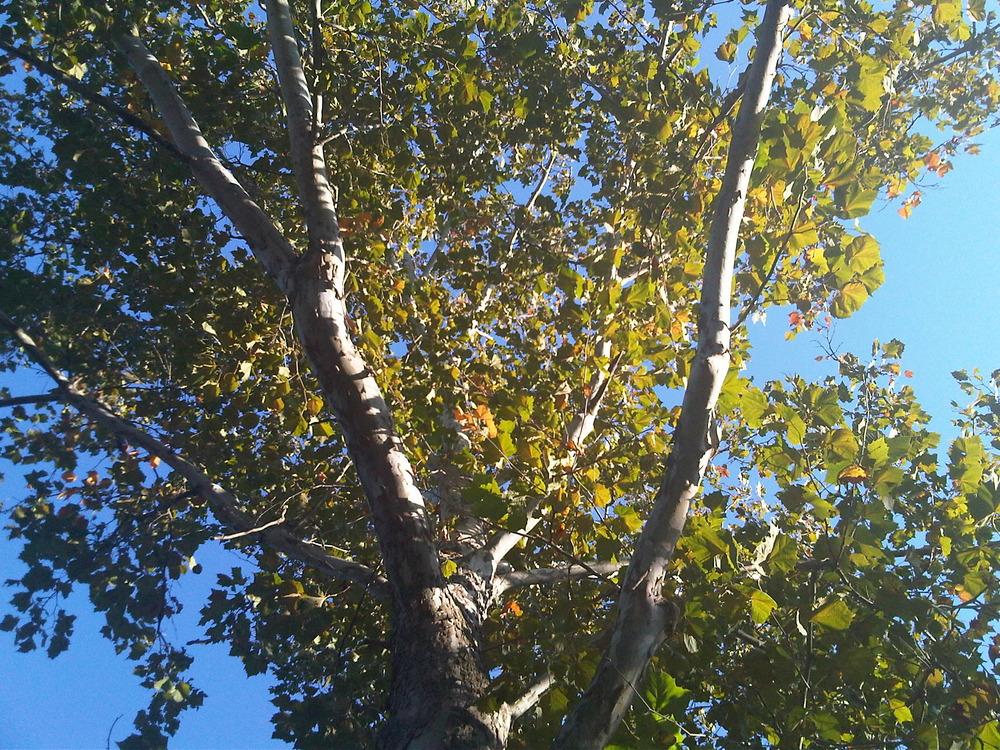 U-city-tree