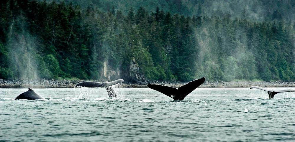 Humpback   Whales, Juneau, Alaska
