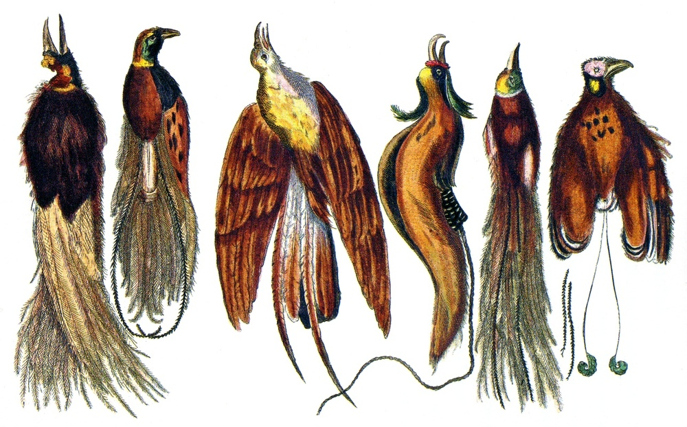 johnston-birds-of-paradise.jpg