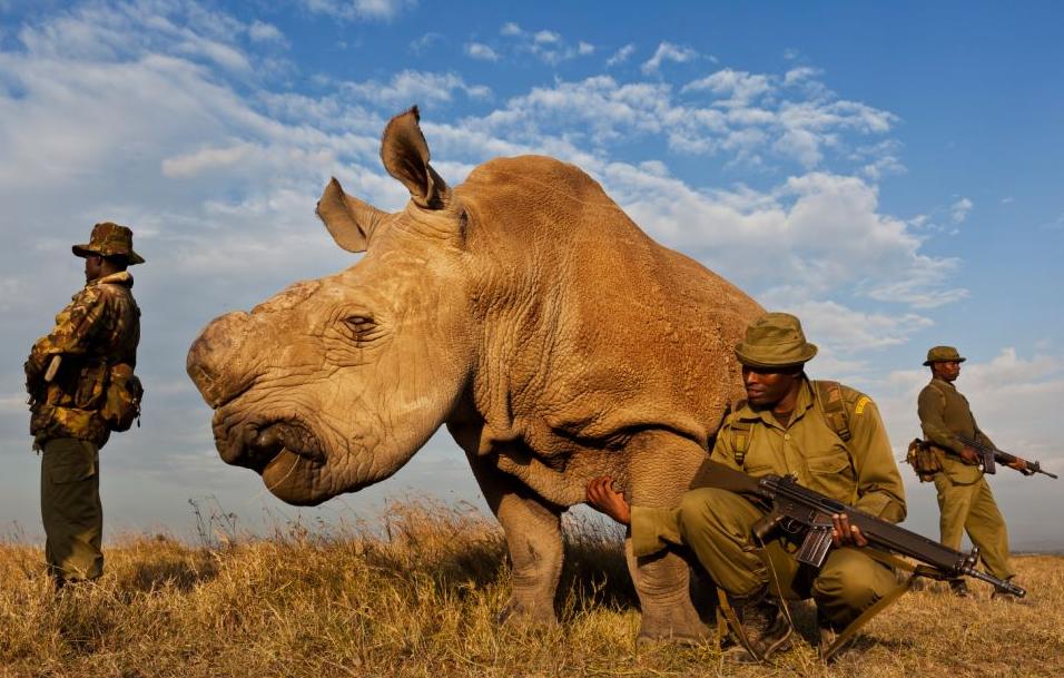 RhinoHornTraffic.png
