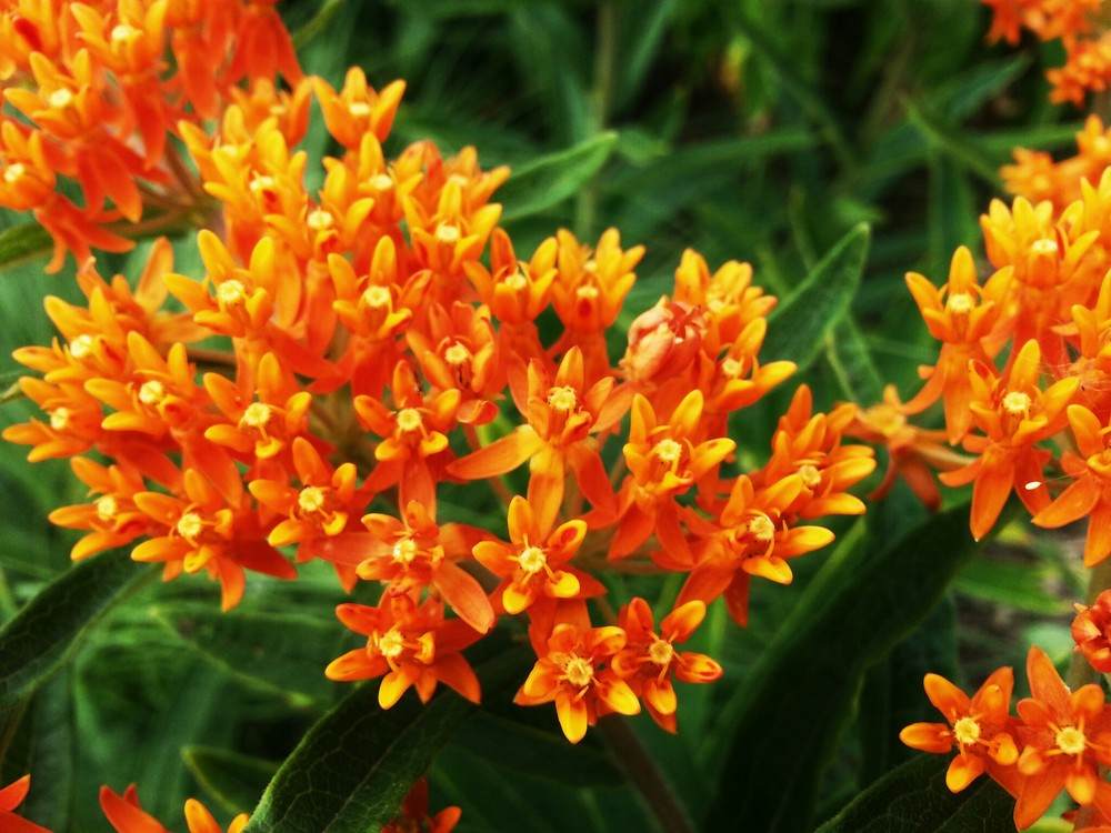 Little Orange Flowers