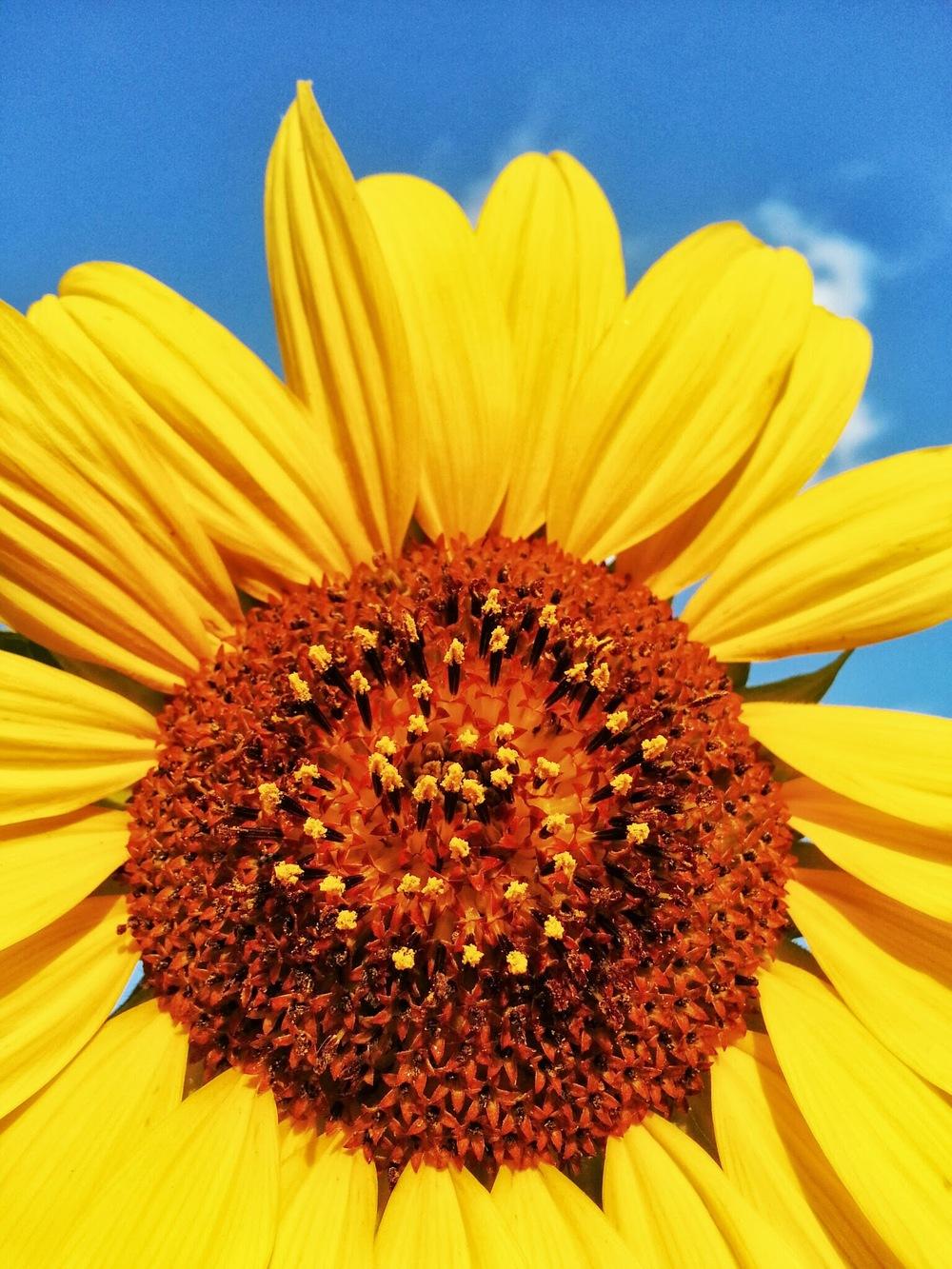 Sunny Sunday Sunflower