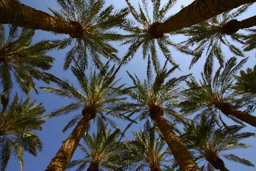 Date palms near Masada