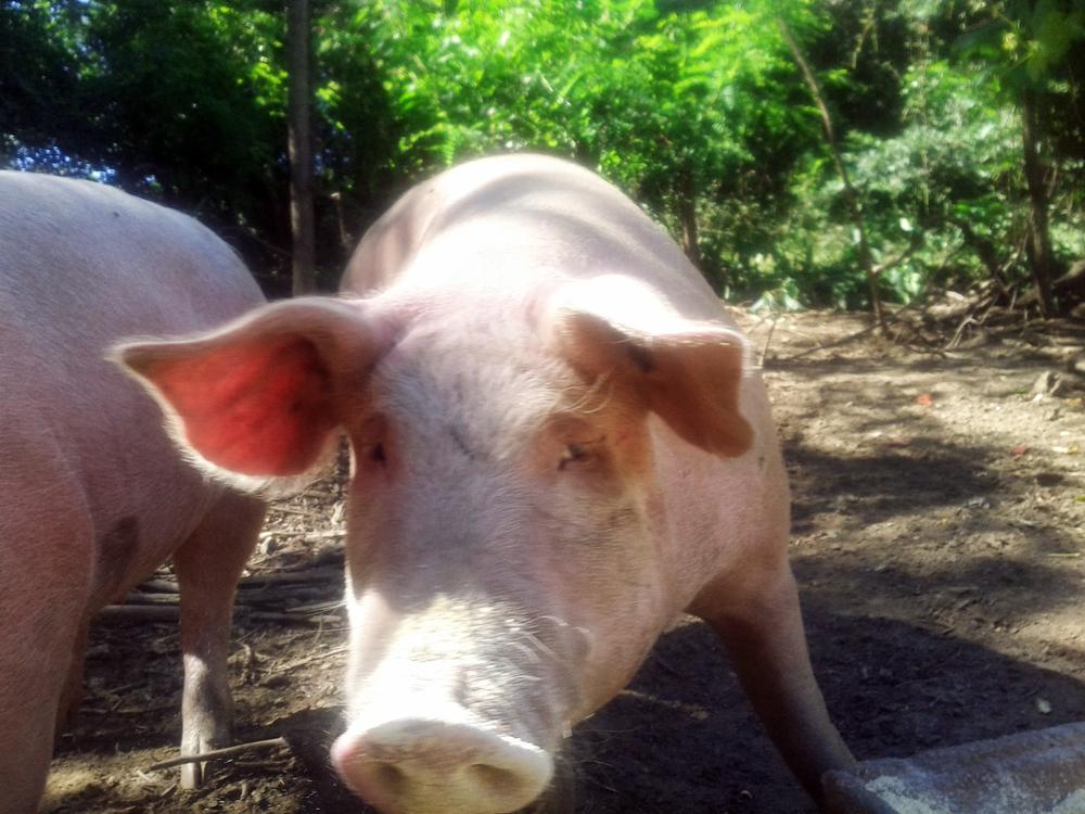 SPA_Pigs.jpg
